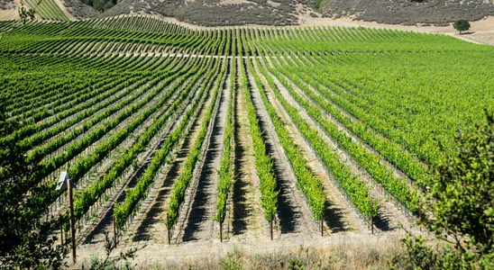 Vineyard in California's wine country