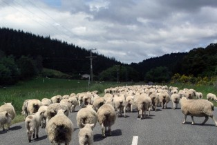 Sheep traffic jam in New Zealand