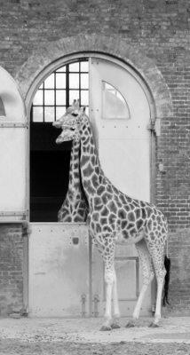 Giraffes London Zoo