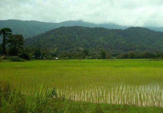 vang vieng rice fields 550