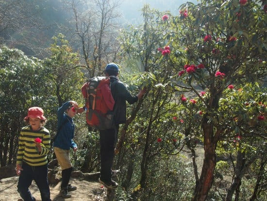 Nepal with kids, Kathmandu with kids rhodedendrons