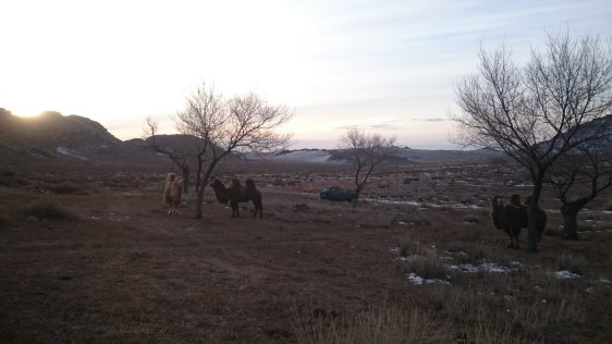 Beautiful scenery of Mongolian nature with camels