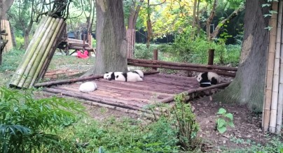 Baby pandas!!!