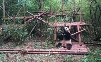 First panda eating bamboo