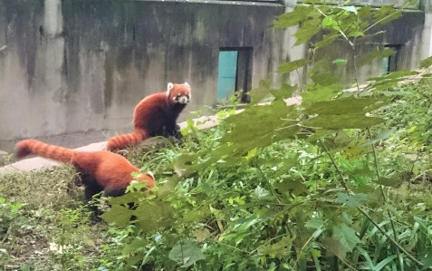 Did you hear about the red pandas?
