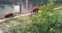 Red panda - more looks like a fox