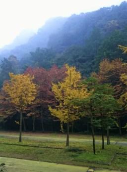 Ginko trees in autumn