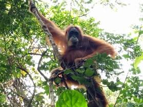 The jungle full of orang-utahs in North Sumatra