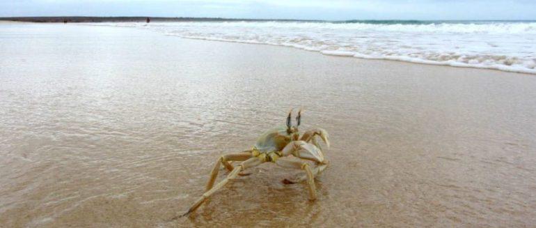 krabbe_2