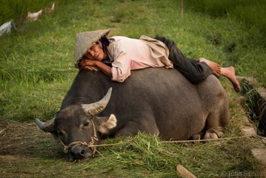 Buffalo sleeping