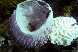 Sponge with inhabitant