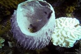 Sponge with inhabitant