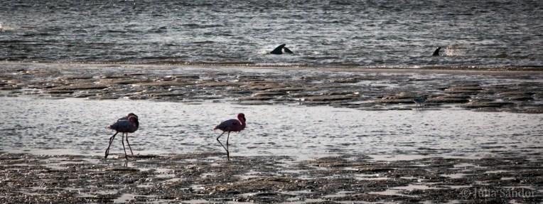 Lagoon of Walvisbai: dolphins