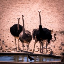Ostriches at the water whole