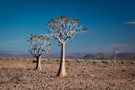 Quiver trees in the canyon landscape