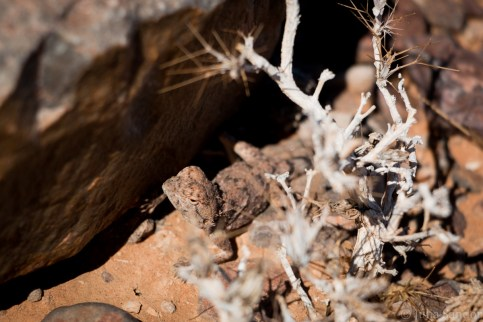 Lizzard in Fish River Canyon