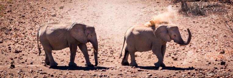 Sand bathing elephants