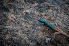 Blue headed lizzard