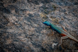 Blue headed lizzard