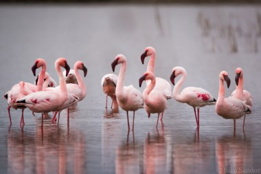 Flamingos in the water