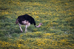 Ostrich among flowers