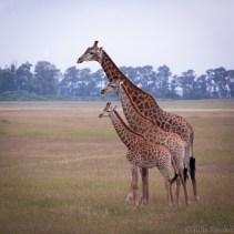 south-africa-western-cape-giraffes-2016-4