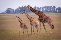 Giraffes like organ pipes