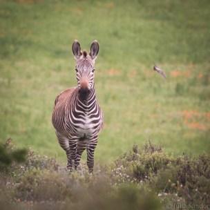 Hartmann zebra gazing at us