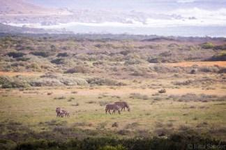 south-africa-western-cape-zebras-2016-14