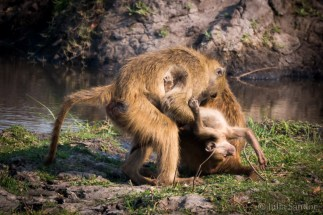 Monkey (mother) love