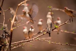 Botswana, weaver birds