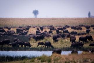 100s of buffalos grazing at the Chobe river