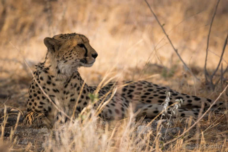 The Big 5 of Africa: Cheetah in Etosha