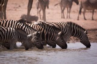 Zebras drinking at the waterhole