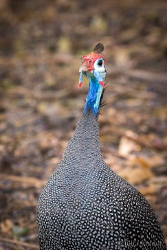 """We call them """"Trottel Huhn"""", as they always try to jump under the car in the last moment."""