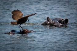 Hippo bird-port