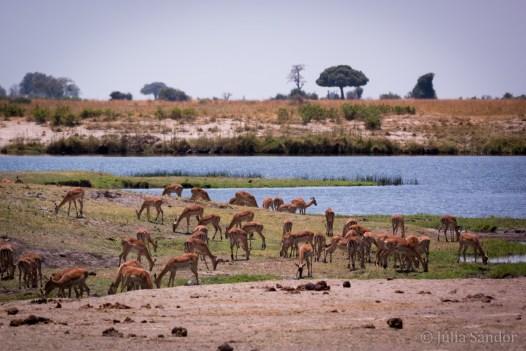 Impala dazzle grazing