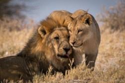 Etosha lions