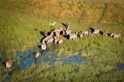 Zebras in the Okavango Delta, Botswana