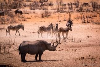 Rhino protecting his waterhole