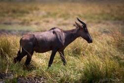 Tsetsebe - the fastest antelope in Africa