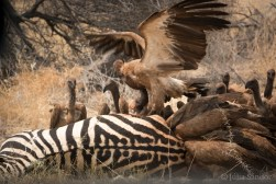 Vultures fighting over their delicious meal
