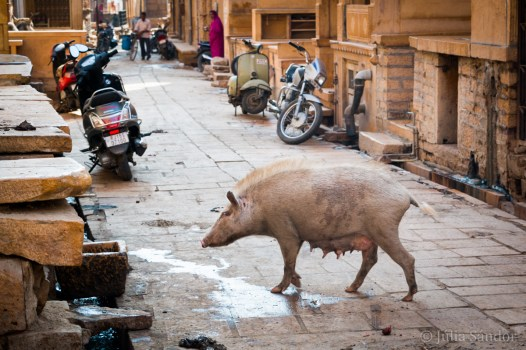 Not only cows and dogs are on the roads of Jaisalmer in India