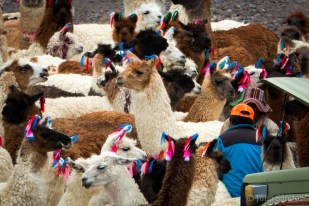 "The llamas were getting prepared for ""Carnavales"" with these cute little ribbons"