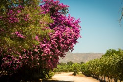 Giant Bougainvillea trees are all over in this area - we are happy if we get them a meter high on our terrace.... :)
