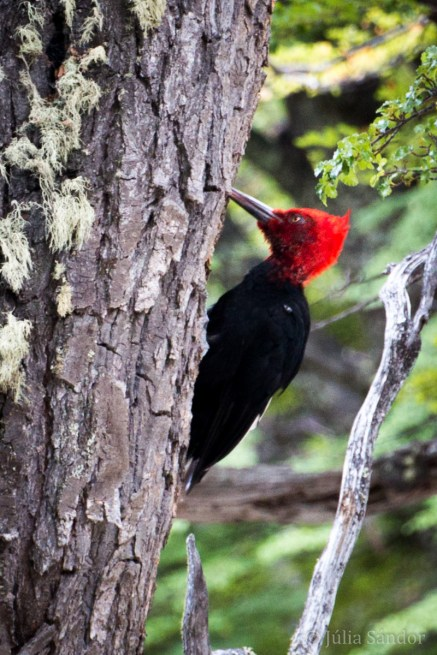 We spotted this red headed woodpecker during our hike to Laguna Capri