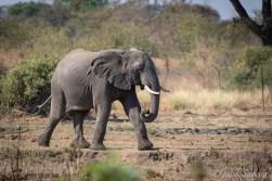 Elephant hurrying to the waterhle on the Senyati campsite