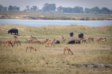 Hippos and Impalas grazing on the riverside