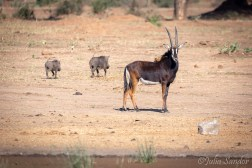 The quickest antelope: the sable antelope