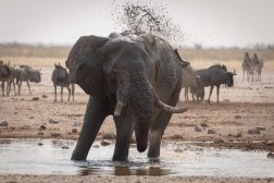 The other animals often do not dare to go to the water until the elephants have finished drinking and bathing - which can take some time...
